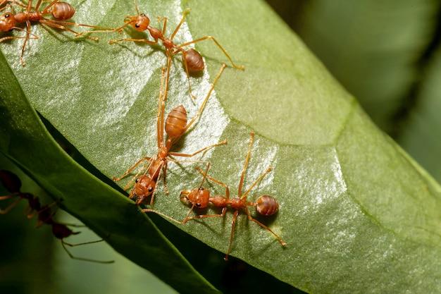 Il lavoratore della formica sta costruendo il nido sulla foglia verde