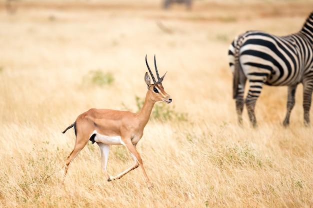 Antilope e alcune zebre nella savana