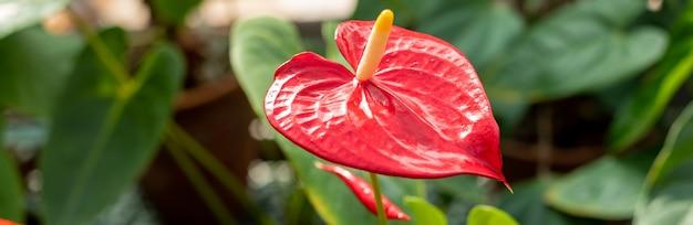 L'anthurium è un fiore rosso a forma di cuore. foglie verde scuro. gli anthurium sono diventati il simbolo dell'ospitalità. pianta di fiori di fenicottero, foglie verdi e fiori rossi