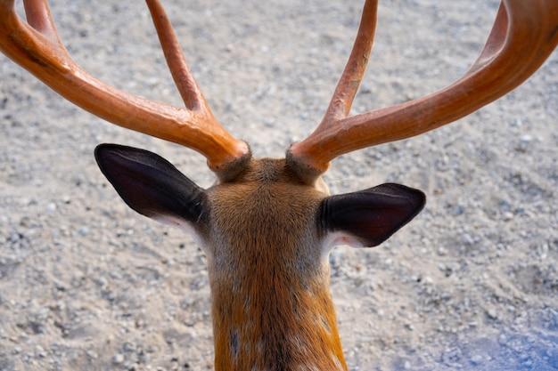 Le corna di un giovane cervo sulla testa