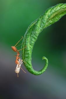 Le formiche trasportano larve bianche