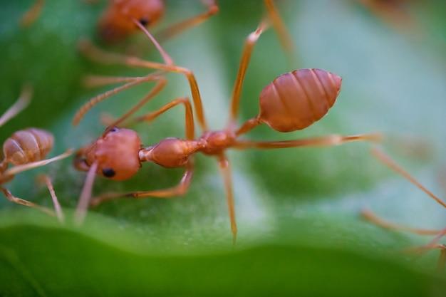 Macro delle formiche sulle foglie verdi