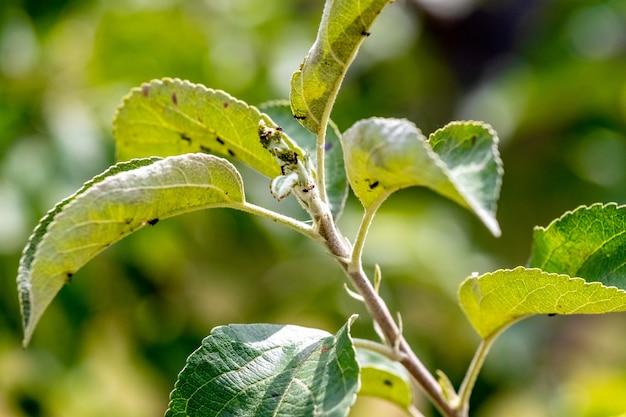Formiche su una giovane foglia di mela verde. le formiche danneggiano l'albero
