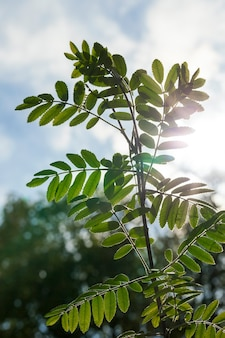 Sono apparse nuove foglie verdi fresche di una cenere di montagna nella stagione primaverile. sullo sfondo un cielo azzurro. il fogliame è illuminato dalla luce solare. primo piano della foto