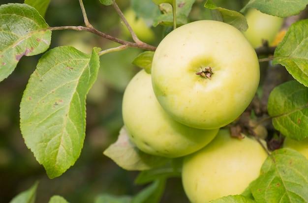 Il raccolto di mele su un ramo di albero