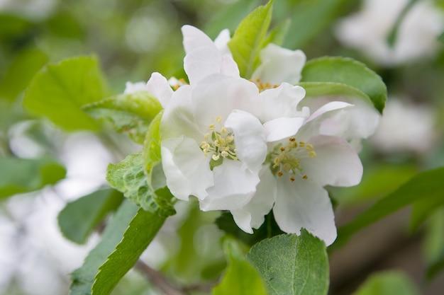 Fiori di mela fiorisce in natura