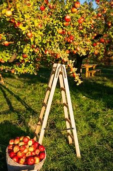 Giorno di autunno soleggiato del fondo della natura del giardino di mele. giardinaggio e raccolta. colture di mele autunnali che raccolgono in giardino. melo con frutti sui rami e scala per la raccolta. concetto di raccolta di mele.