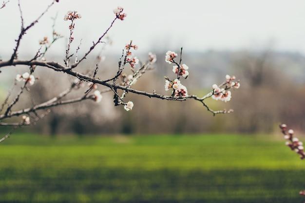 L'albicocca sboccia in piena fioritura