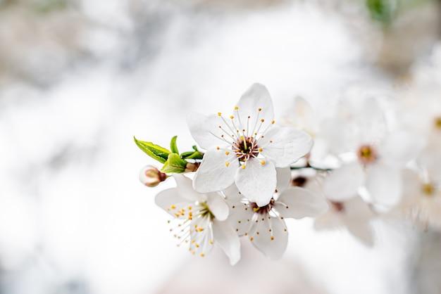 Ramo di albicocca con fiori bianchi in fiore