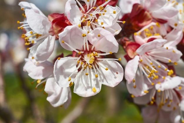 I fiori dell'albicocca si chiudono su