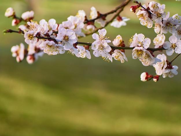 Fiori dell'albicocca sullo sfondo naturale.