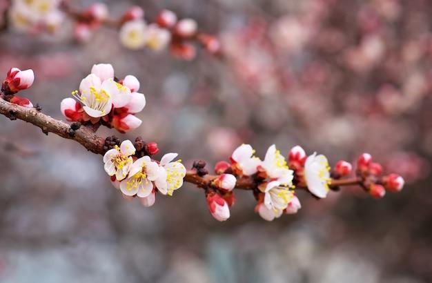 Fiore del fiore dell'albero di albicocca su cielo blu. albicocca a fioritura primaverile