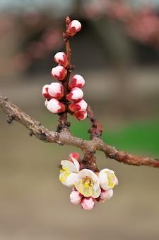 Fiore dell'albero di albicocca. albicocca a fioritura primaverile