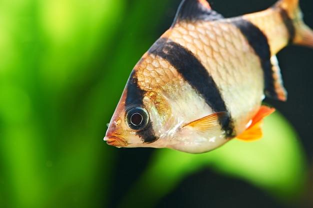Pesci d'acquario - barbus puntius tetrazona in acquario