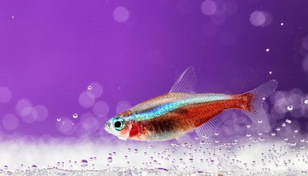 Pesci d'acquario, neon