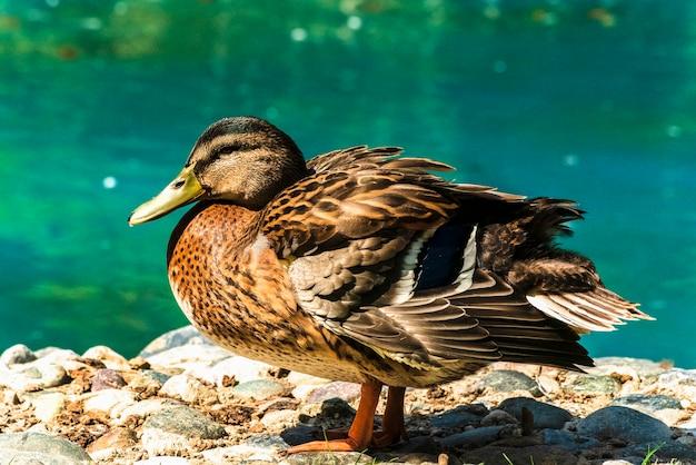 Uccelli acquatici oche anatre cigni gabbiani pellicani