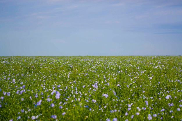 Campo seminativo con bellissimi fiori di lino