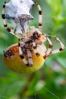 Il ragno araneus avvolge la sua preda in una ragnatela, in modo che possa poi mangiarla.