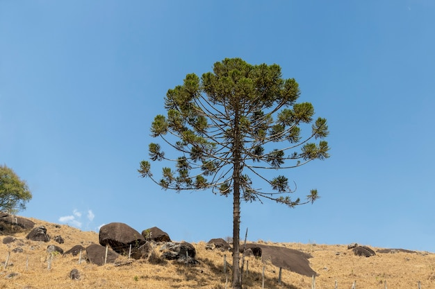 Araucaria albero isolato sulla montagna