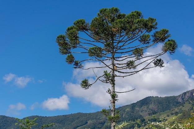 Araucaria albero con paesaggio di montagna e cielo blu
