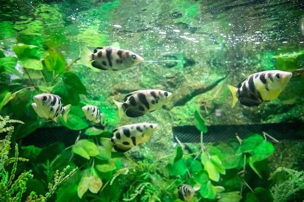 Pesce arciere in acquario