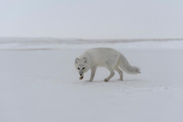 Volpe artica (vulpes lagopus) nella tundra selvaggia. volpe artica sulla spiaggia.