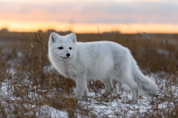 Volpe artica nel periodo invernale nella tundra siberiana si chiuda.