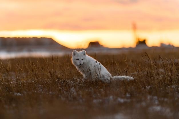 Volpe artica nell'orario invernale nella tundra siberiana al tramonto.