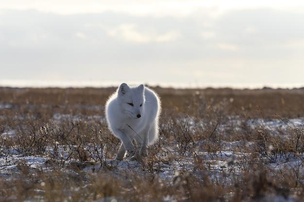 Volpe artica nel periodo invernale nella tundra siberiana