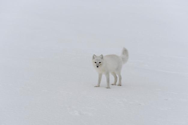 Volpe artica in inverno nella tundra siberiana
