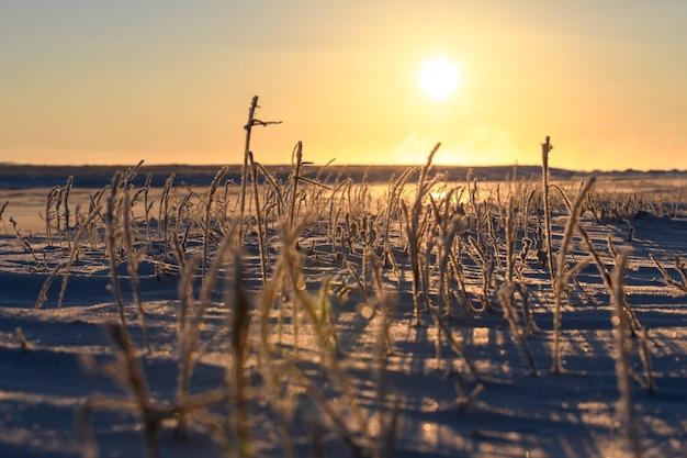 Paesaggio artico in inverno. erba con ghiaccio nella tundra. tramonto bellissimo.