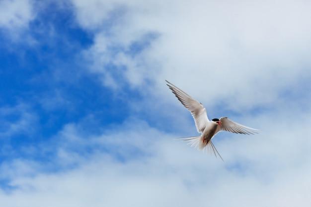 Sterna artica che vola
