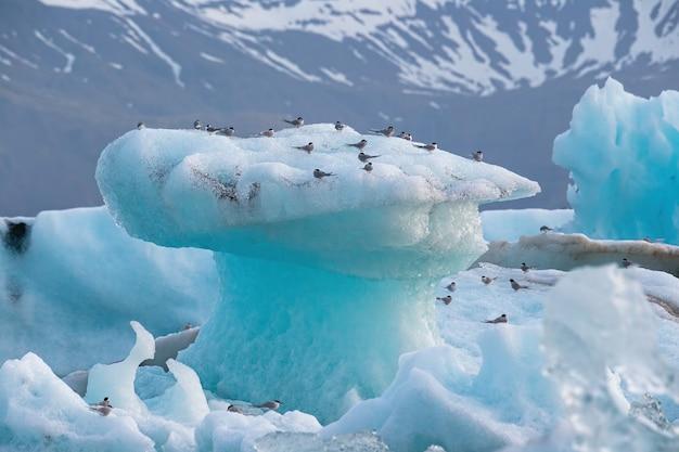 Sterne artiche sterna paradisaea che riposa sull'iceberg al lago del ghiacciaio di jokulsarlon in islanda