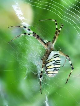 Argiope bruennichi siede in giardino su un ragno tigre ragnatela con strisce rosse e gialle sull'addome.