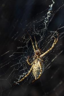 Argiope lobata. il ragno mangia l'insetto che ha cacciato.