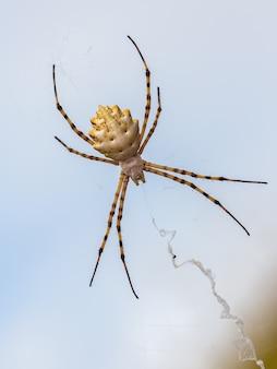 Argiope lobata. ragno nel suo ambiente naturale.