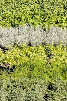 Gras saporiti di origano del origano del basilico del timo del prezzemolo del basilico della salvia dei rosmarini del mercato aromatico della pianta