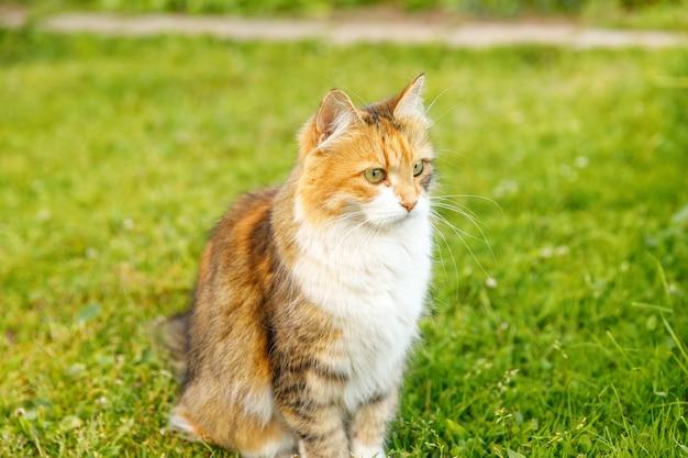 Il gatto soriano divertente domestico a pelo corto arrogante si intrufola attraverso il fondo fresco del prato dell'erba verde. il gattino cammina all'aperto nel cortile del giardino il giorno d'estate. concetto di salute e animali per la cura degli animali domestici.