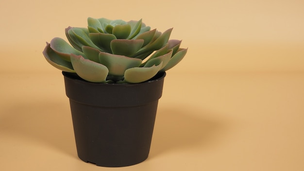 Pianta succulenta artificiale
