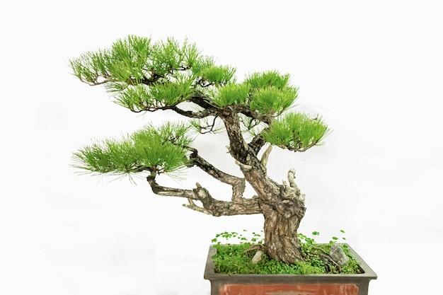 Piante verdi in vaso cinesi artistiche su sfondo bianco