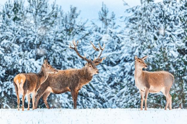 Immagine artistica della natura di natale di inverno. paesaggio faunistico invernale con cervi nobili cervus elaphus. molti cervi in inverno.