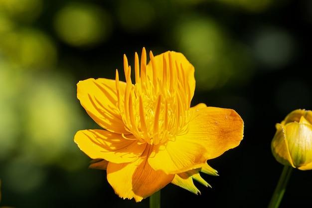 Asia bathing suittskaya, o trollius asiaticus, è una pianta erbacea perenne del genere kupalnitsa della famiglia buttercup (ranunculaceae).