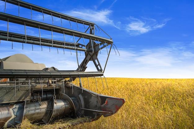 L'asia e la stagione della raccolta raccogli il riso grano in fattoria