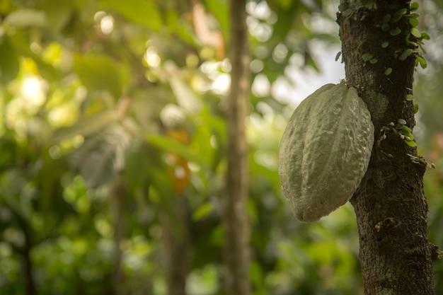 Albero da frutto del cacao asiatico