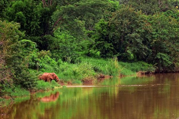 Elefante asiatico che mangia erba accanto al fiume