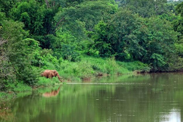 Elefante asiatico nella foresta del nord della thailandia