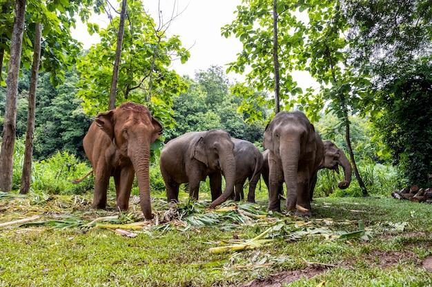 L'elefante asiatico si diverte a mangiare cibo nel parco naturale, thailandia
