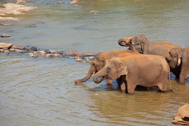 Elefante asiatico in sri lanka