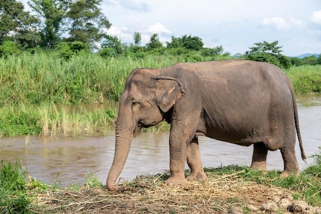 Elefanti asiatici in piedi presso il fiume ping, chiang mai ,thailandia