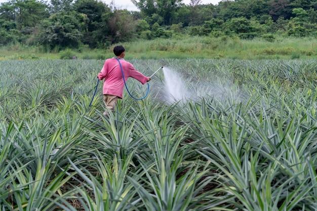 Il coltivatore asiatico spruzza la miscela del fertilizzante del polline della pianta dell'ananas nella fattoria dell'ananas